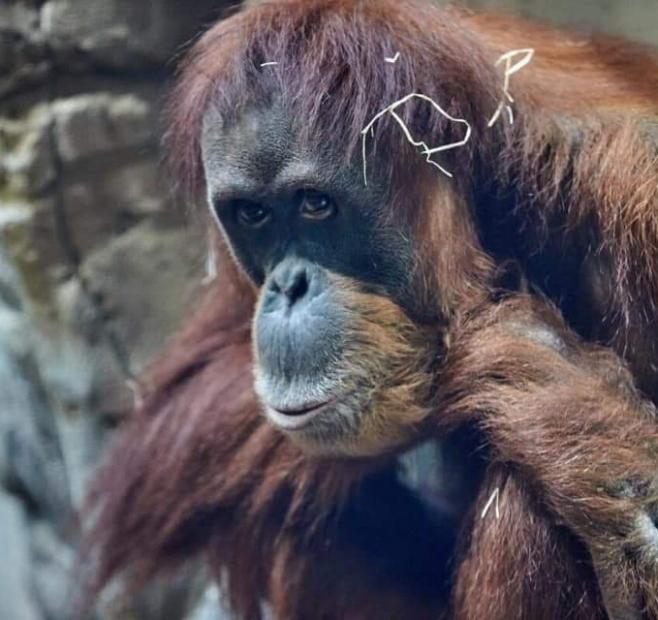 Опыт международной перевозки орангутанов